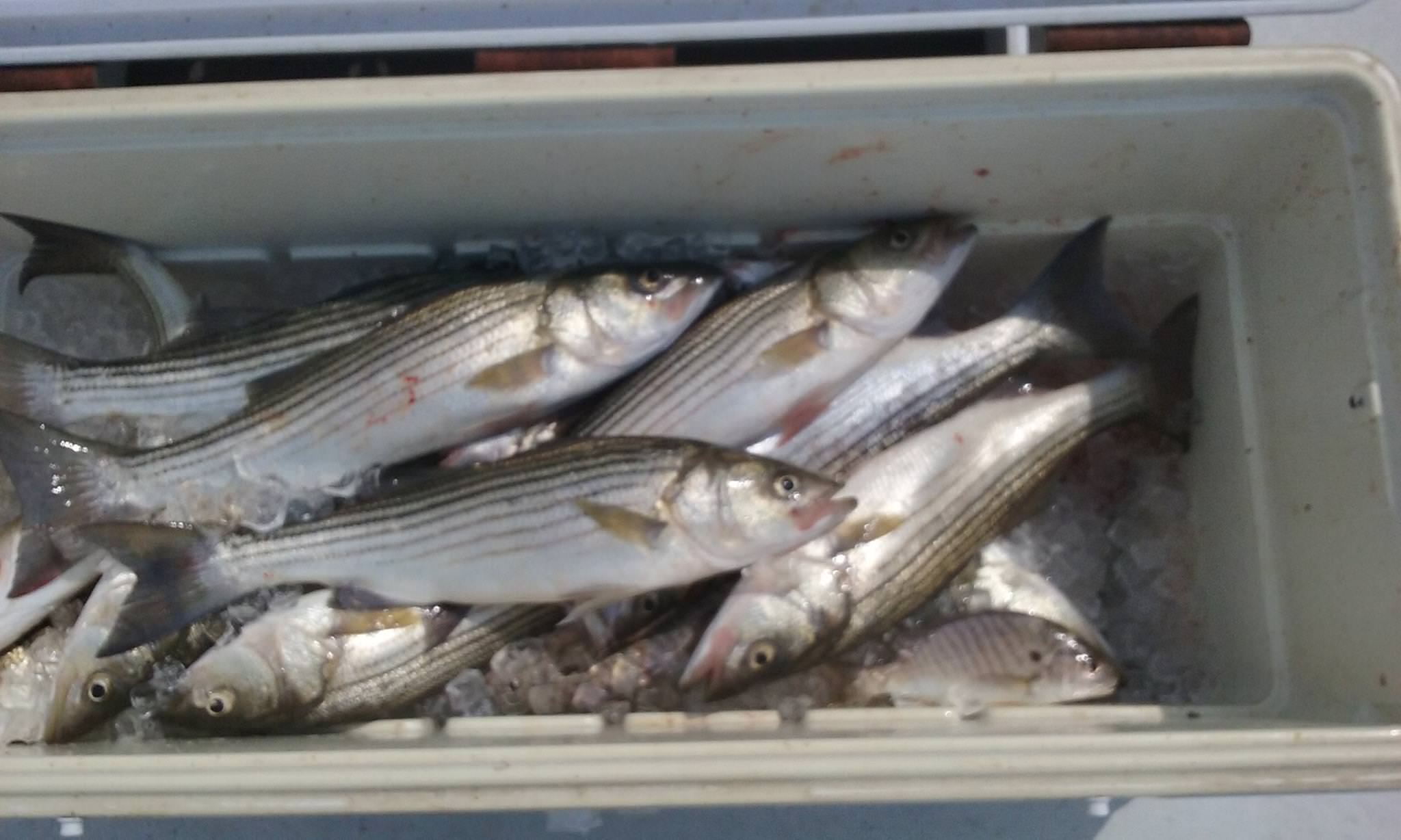 Another Day, Another Cooler Full of Fish!