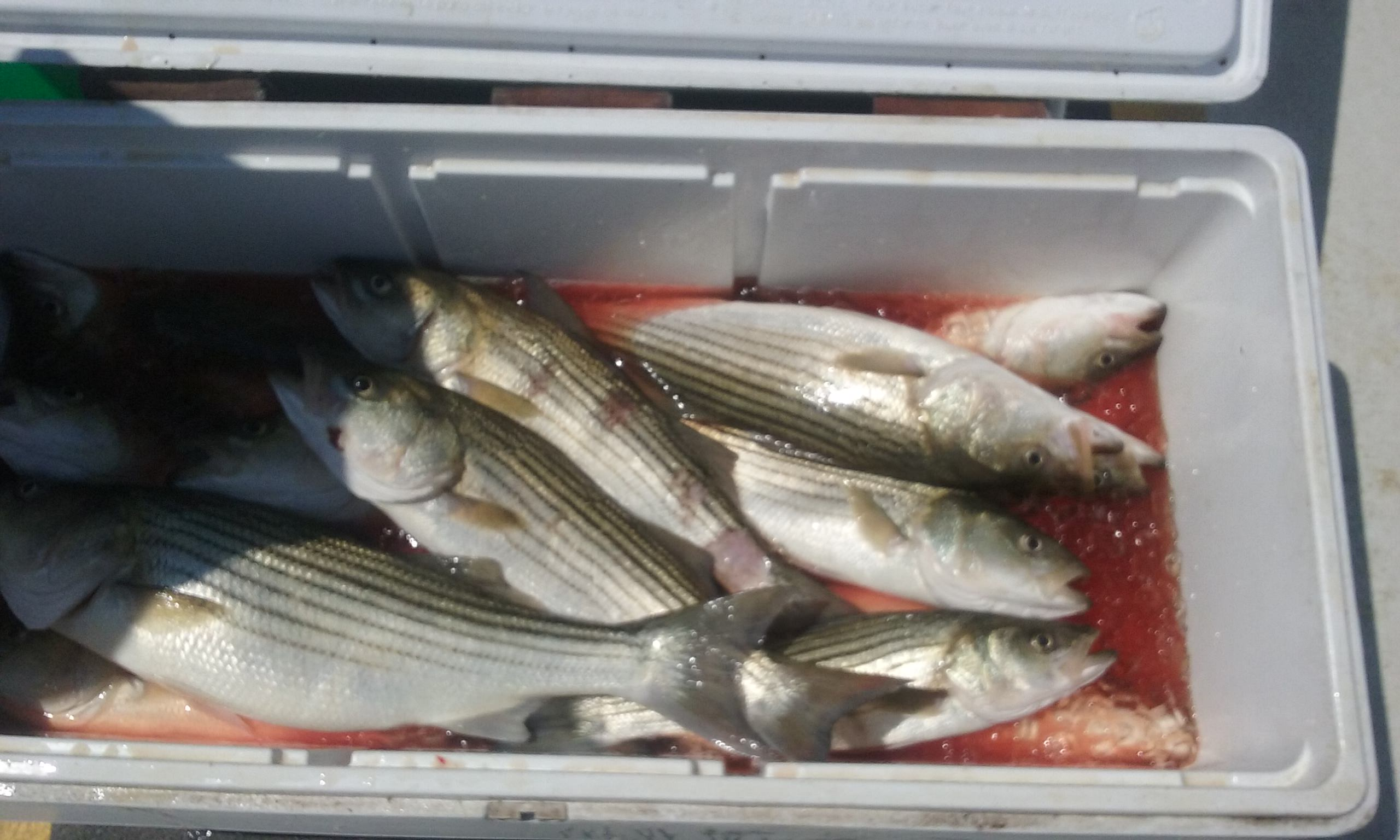 Check out this cooler full of stripers!