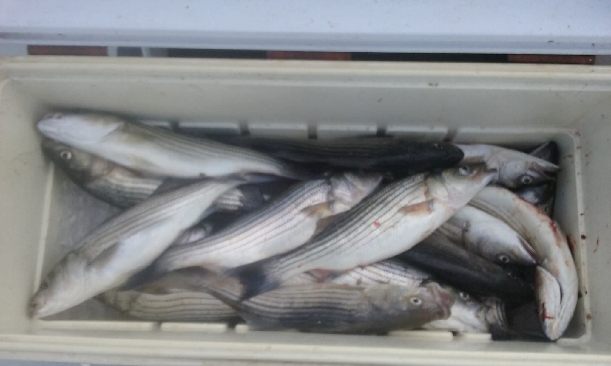Chesapeake Bay Charter Fishing For Striped Bass